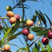 オリーブオイルの原料、オリーブの収穫方法とおすすめ小豆島オリーブオイル